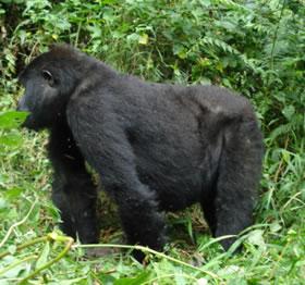 africangorilla.jpg