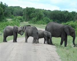 Elephants - Murchison Falls National Park