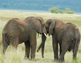 Elephants - Safari in Murchison Falls National Park