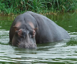 Hippo - Kazinga Channel - Uganda Safari