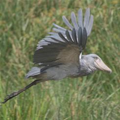 Loftwing VS Shoebill Stork by mystic-creater on DeviantArt